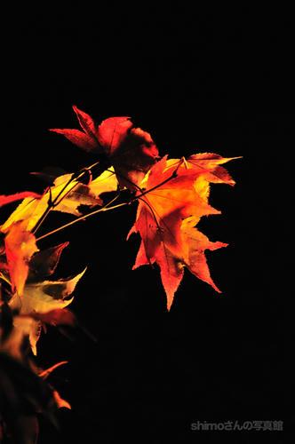 闇に踊る紅葉