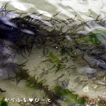 メジナの幼魚