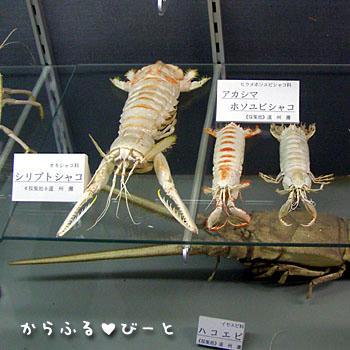 巨大シャコ標本