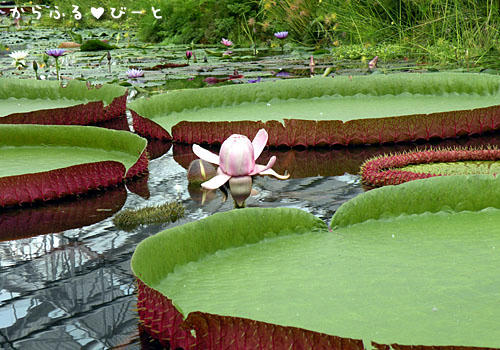 オオオニバスの花
