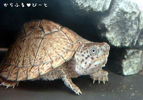 カブトニオイガメのピョンす