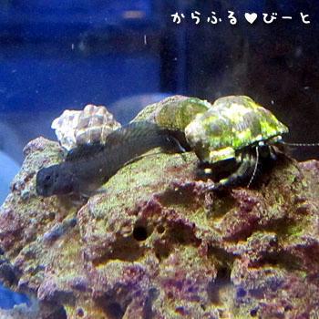 カエルウオとヤドカリ