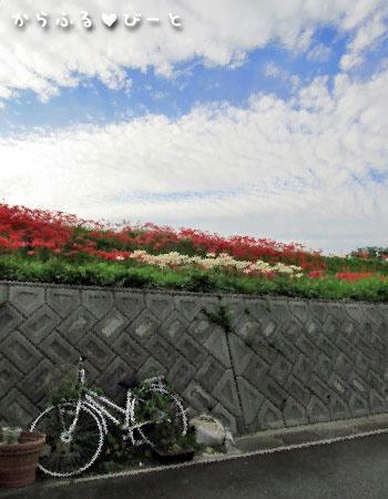 彼岸花と自転車