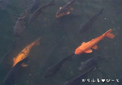 水門川に群れる鯉