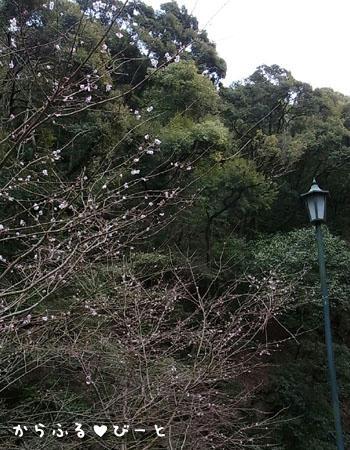 桜でしょうか?