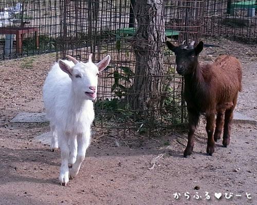 小動物園のヤギ達