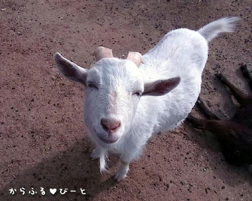 微笑む白ヤギさん