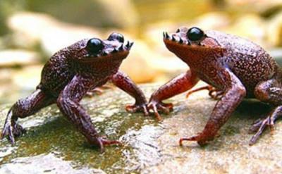 かえる,カエル,両生類,峨眉ヒゲカエル,ブラックレインフロッグ,ゴーストグラスフロッグ,ジュウジメドクアマガエル,ナマカフクラガエル