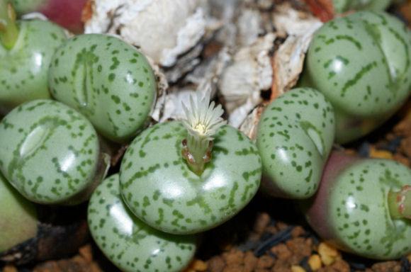 オブコルデルムの白い花