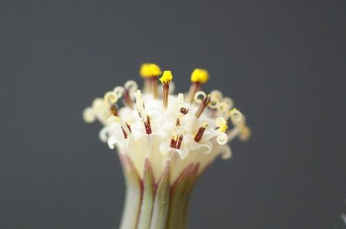 アーモンドネックレスの花