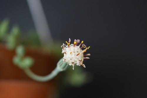 ピーチネックレスの花
