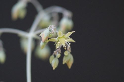 コルダタの花