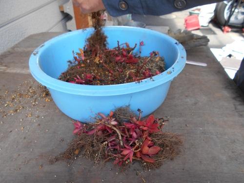 植え替えをする鉢から苗を抜く