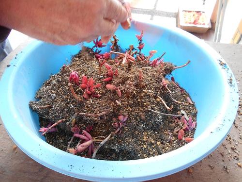 古い土と悪い苗は捨てます