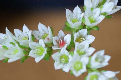レティジアの花