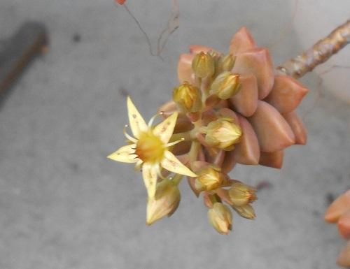 ブロンズ姫の花