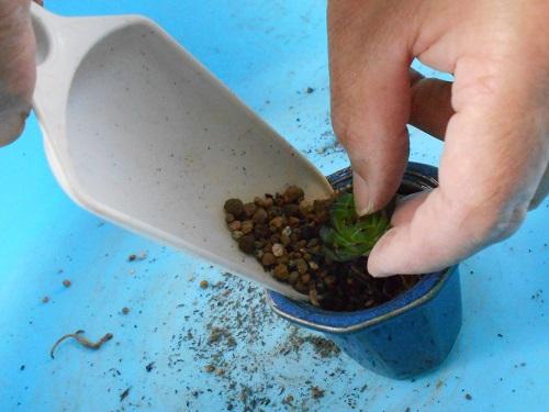 多肉は手で持ちながら土が入り易いようにしています