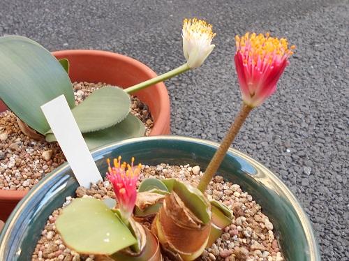 ハエマンサス・ロゼウスの花