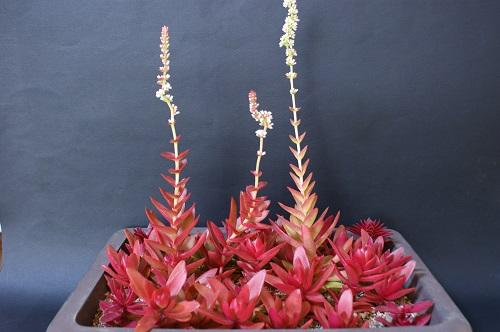 火祭りの花