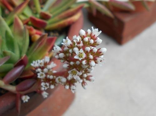 赤鬼城の花
