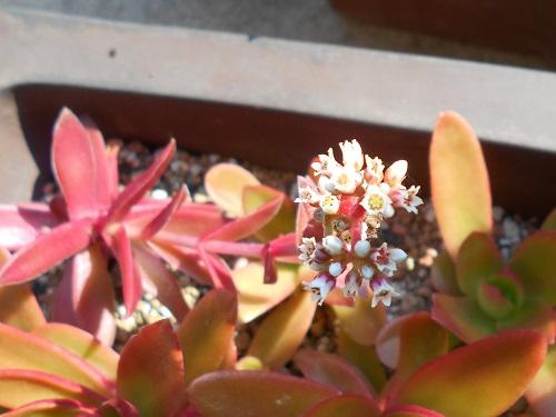 モミジマツリ。白い花