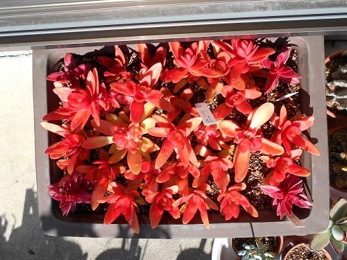 紅葉したヒマツリとモミジマツリ