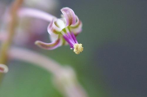 レディボウリア・ウンドラータの花