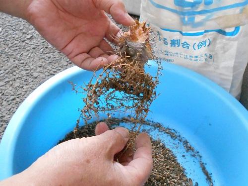 貴青玉の下の部分です。土を落としています。落とした土は再利用しません。貴青玉の根も捨てます。