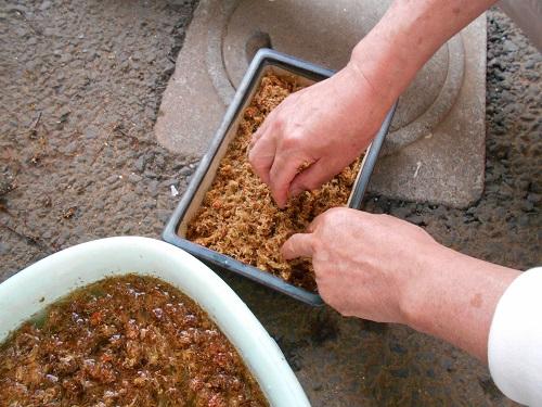 虫取りスミレ(姫足長虫取りスミレ)の植え替えのようす。鉢に水苔を引き詰めています。鉢は貰った盆栽用の鉢です。