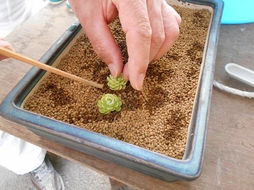 虫取りスミレ(姫足長虫取りスミレ)の植え替えのようす。表面にうっすらと土を乗せています。そこに虫取りスミレも乗せていきます。