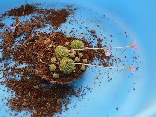 虫取りスミレ(姫足長虫取りスミレ)の植え替えのようす。虫取りスミレをばらしている状態です。土の下は水苔があらわれています。まだ花が咲いているのにハサミで切りました。