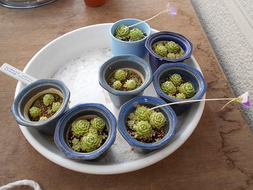 虫取りスミレ(姫足長虫取りスミレ)の植え替えのようす。まだ残っている虫取りスミレ。これを全部ばらして植え替えをします。鉢は貰った盆栽用の鉢。