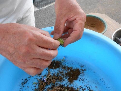 虫取りスミレ(姫足長虫取りスミレ)の植え替えのようす。根もバラして土を落としてきれいにしています。