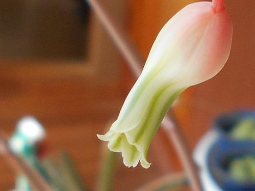 アロエ科 ガステリア属 富士子宝 (フジコタカラ、フジコダカラ)