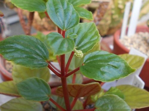 コショウ科 ペペロミア属 フラセリ