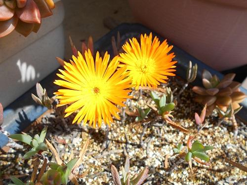 黄色い松葉菊