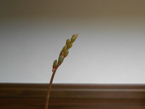 達磨臥牛(ダルマガギュウ)<br />