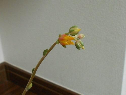 大和姫の花