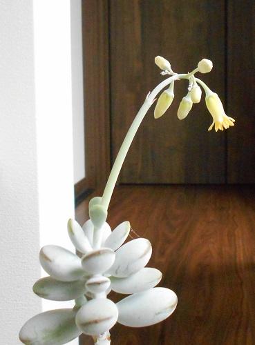 ふっくら娘の花