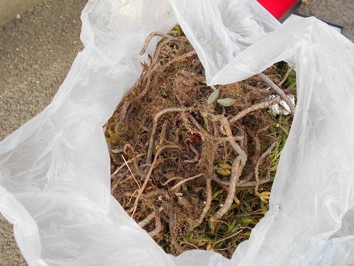植え替えで捨てる多肉の根っこ