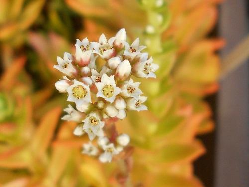 モミジマツリの花