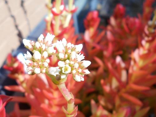 ヒマツリの白い花