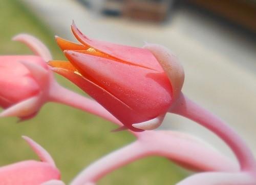 エケべリアの花