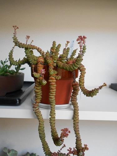 舞乙女の花