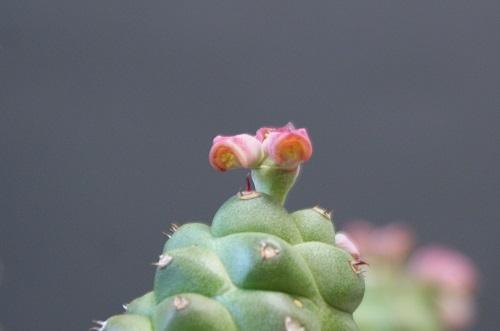 リチェイの花