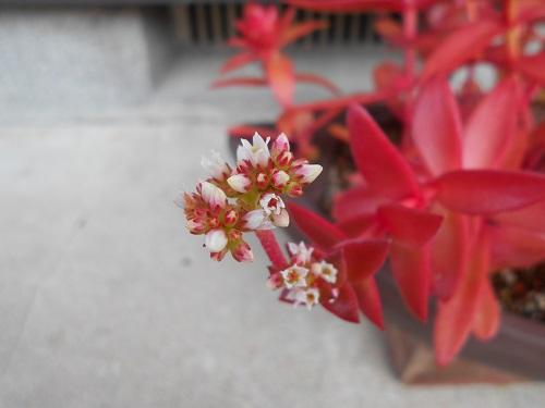 紅葉したヒマツリと花