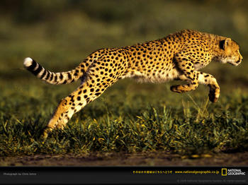 cheetah-leaping.jpg
