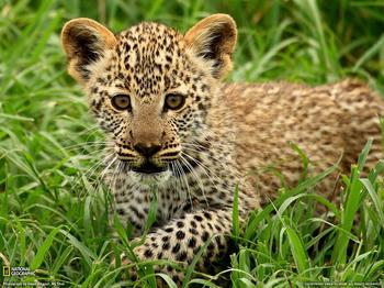 leopard-cub-tanzania-w.jpg