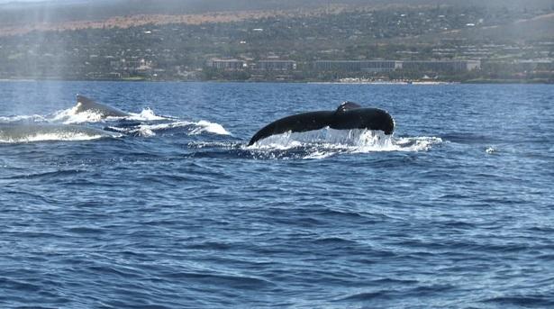 ザトウクジラの画像 p1_26