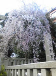 乃木神社桜